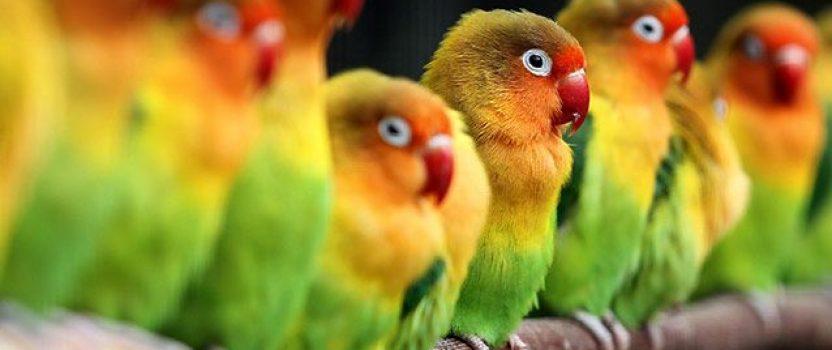 Panduan Lengkap tentang Lovebird dan Cara Perawatannya