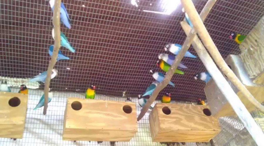 Panduan Lengkap Cara Ternak Lovebird Untuk Pemula